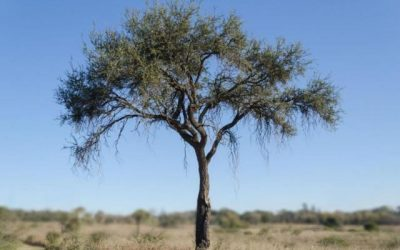 Árbol de Quebracho Blanco Paraguayo